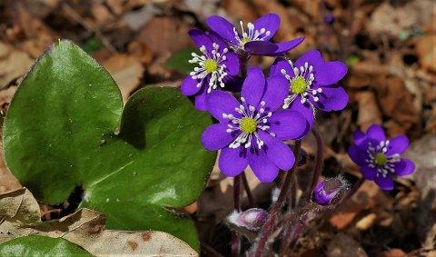 Nå er den her: Blåveisen blomstrer, nå er det på tide å dra ut og se etter den. Naturopplevelser står i kø i distriktet, vi  gir deg ti tips til turer. (Foto: Øivind Lågbu