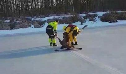 REDDET: Her blir elgen dratt bort i sikkerhet på land igjen.