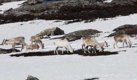 BÆREKRAFTIG REISEMÅL: Villreinen og naturen i nasjonalparkene vernes mot masseturismen.