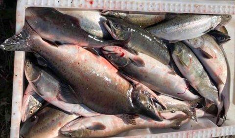 Pukkellaks fisket opp i Munkelva.