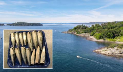 RIKELIG FANGST: Da Bjørn Alstad prøvde fiskelykken bak odden til høyre, fikk han napp. Fint vær i pinsen og varmere vann har bidratt til at makrellen kommer opp til overflaten.