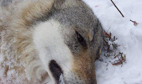 UNDERSØKES: Alle døde ulver i Norge undersøkes, og likedan samles det inn prøver av møkk og hår fra ulv.