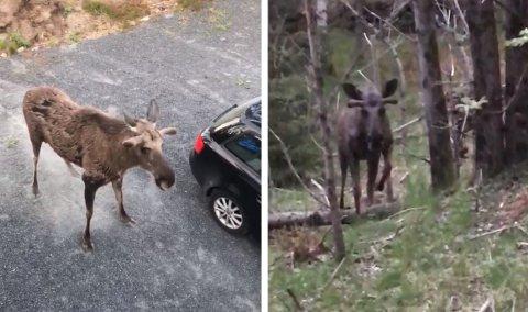ELG I BOLIGFELT: «Oterlia-elgen»  har skremt beboere på store deler av Viddefjell de siste ukene. Nå har viltnemda planer om å felle den.