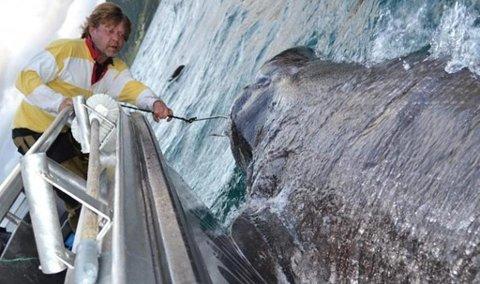 STORFISKER: Mikael Åkesson har fått to håkjerringer på sin fiskeferie til Risøysundet. Fiskene veide 1054,7 og 863 kilo.