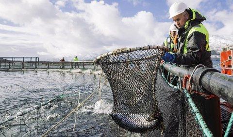 Stor lokal aktør: Nordlaks på Stokmarknes produserer 44 tusen tonn laks. Selskapet omsatte i 2016 for nær tre milliarder kroner, og har rundt 420 ansatte.  Foto: Marius Fiskum © Norges sjømatråd