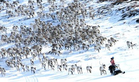 VINTERFLOKKEN: Lom tamreinlag har nettopp slaktet 439 dyr.