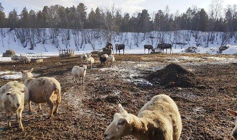 SKOGENS KONGE: Sau og elg deler matfat på Holmen. Foto: Frank Simensen