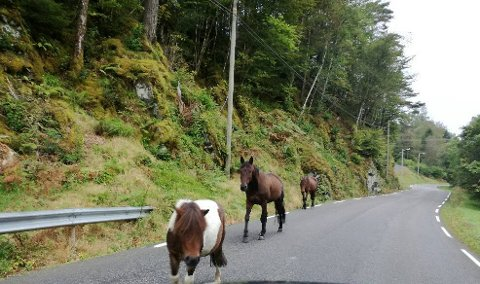 Tre hestar på tur langs vegen på Sunde.