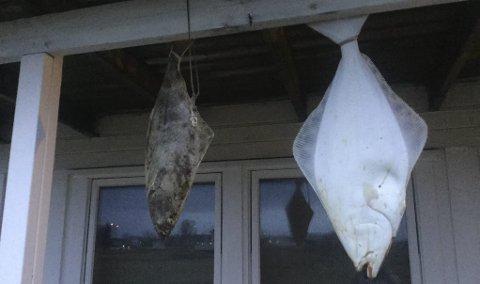 JULEMAT: Disse to fine kveitene skulle bli julemat, men lørdag morgen var de søkk borte. Foto: Privat