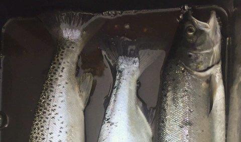 Sjøørret, pukkellaks og laks tatt i sjøen ved Offersøya sist søndag. Tegn tyder på at pukkellaks gyter også i Farstadvassdraget.
