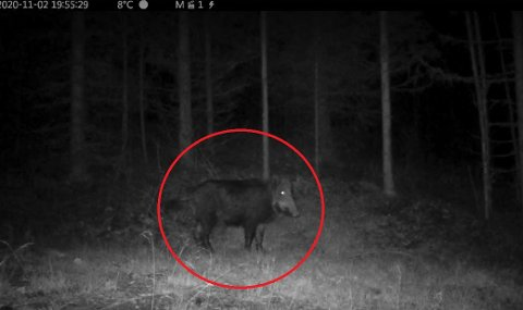 Dette villsvinet ble fanget opp på viltkamera i Rendalen. Illustrasjonsfoto