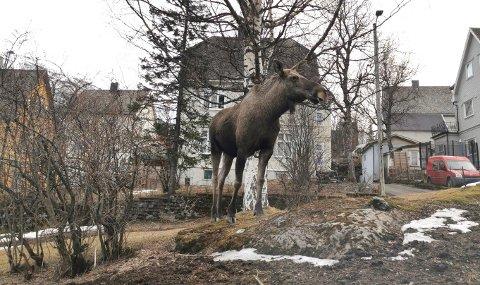 Her står elgen midt i Narvik.