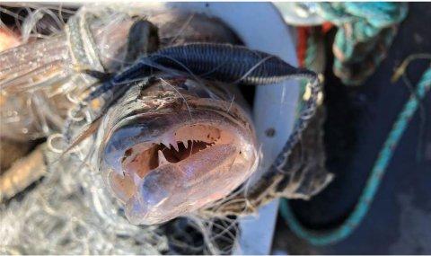 FANGST: Dette er en av fiskene som ble fanget og undersøkt fra Nitelva. Dette er en gjørs, en typisk rovfisk.