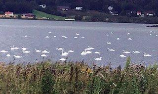 VAKKER SYN: Det var tett i tett med svaner på Byfjorden lørdag ettermiddag.