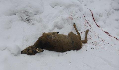 Blodig: Dette rådyret ble funnet drept i skogen ved Holte sist lørdag. En nabo som kom til stedet forteller at han så en harehund bite i rådyret. En Gjerstad-mann som var på harejakt i området nekter å tro at det var hans hund som drepte dyret. Foto: Kåre Sander Nilsen