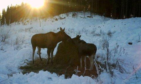 SAMLESRUNDTBALLEN:Elg på fôringsplassen i Kudalen i Hakadal vinteren 2013.