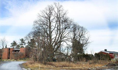 Kjent hul eik: Denne eika i Ekesvingen 18 i Frogn var mye omtalt da grunneiere ikke fikk bygge huset de ønsket på eiendommen. Det endte med at kommunen kjøpte tomta.