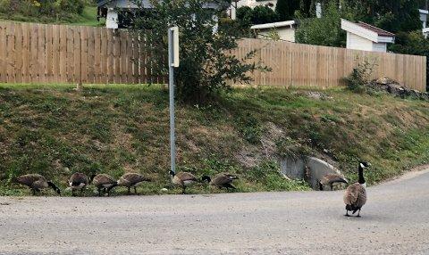 HUSVARME:Årets kull med kanadagjess fra Vassøytjerna har i høst til dels okkupert veien ned mot Sørli skole.