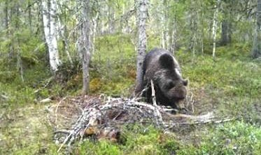 Luring: Bjørnen som herjer i Grane lar seg ikke bli tatt, og det jobbes med videre tiltak i beiteområdet. Foto: Frank Hepsøe, viltkamera