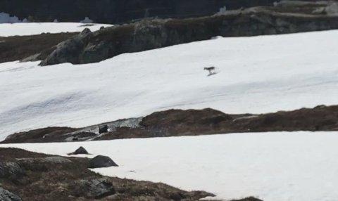 Ulv: Jan Kristian Vesterfjell filmet det som nå er bevist ulv ved Kalvvatnan.