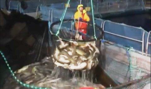 """HENTES: Her er hotelloppholdet over for denne torsken, og heises om bord i """"Øyaskjær""""."""
