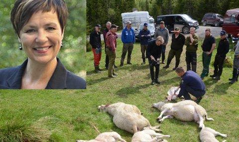 Hittil er 87 sauer funnet drept etter ulveangrepene i Gran og Hurdal. - Uakseptabelt, mener Anne Tingelstad Wøien (innfelt).