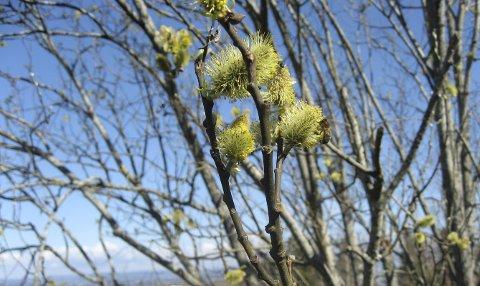 UTROLIG VIKTIG: Selja har en svært viktig funksjon, for honningbiene trenger både pollen og nektar for å overleve nå på vårparten.