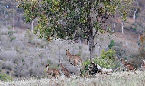 Kenguruene som er på vei til Den lille dyrehage i Gjerstad er av typen grå kjempekenguru.