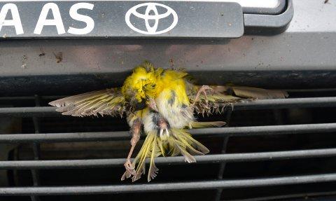 Trist skjebne for vakker fugl. Et stort antall fugler dør hvert år i kollisjon med bil.
