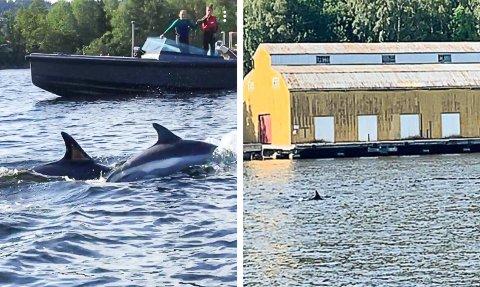 DELFINBESØK: Det myldret av delfiner i Apalvika på Søndeled torsdag kveld.
