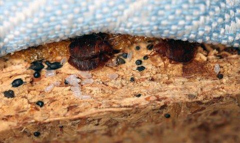 UBUDNE GJESTER: Veggedyr gjemmer seg i madrasser, sengerammer og sprekker på dagtid. (Foto: Anticimex)