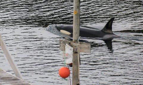 NÆR: Fem spekkhoggere svømte fredag helt inntil flytebryggene i Hønseby.