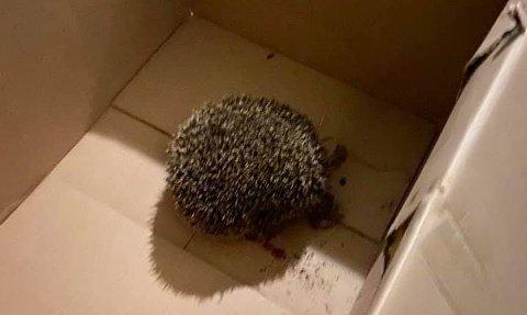 – DET VAR HELT GRUSOMT: Ekteparet fant det lille pinnsvinet liggende inntil verandaen sin. Det blødde kraftig og skrek konstant.