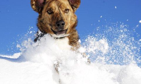 Må holdes i bånd: Det er ikke love til å la hunden løpe fritt i Kragerø kommune fra 13. februar. Illustrasjonsfoto: Elin Frisch Selås