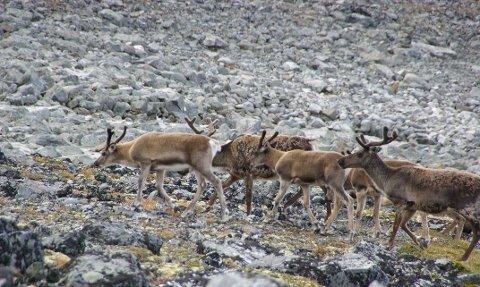 GÅR TIL VÅRBEITET: Tamrein er blant annet under forflytning i Vestre Slidre og Vang i Valdres i disse dager. Arkivbilde