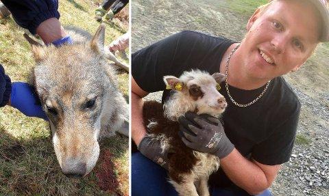 LETTET: Sauebonde Henning Engen er lettet over at en ulv er felt i Søndre Land.