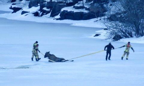 FIKK HJELP: Ringerike brannn- og redningstjeneste hjalp søndag formiddag elgen på land.