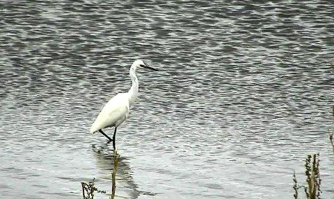 PÅ BESØK: Her er fuglen fotografert mens den vasset rundt i vannkanten på Ilene i Tønsberg.