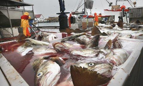 Skreifiske på Røst 2017: Kysten leverer som aldri før. Sammen med oppdrettsnæringen står fiskeriene i Nordland i en særklasse når det gjelder høy verdiskaping. Foto: Tom Melby