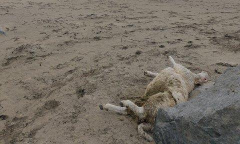 Druknet: En løs hund jaget lammet på hav, slik at det druknet.