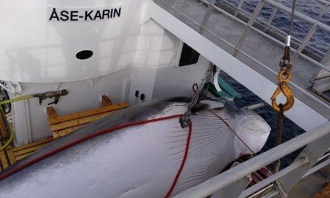 """KVALFANGST: """"Åse-Karin"""" er en av tre båter som er i fangst."""