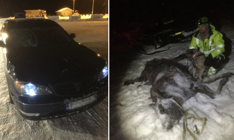 PÅKJØRT: En elgokse måtte bøte med livet etter en påkjørsel på E6 i Troms. Det er mye elg i området, sier lederen for viltnemnda i Målselv.