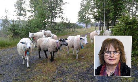 GAUPA TAR LAM: –  Det har eskalert med skadde lam, sier den erfarne sauebonden Anne Ingeborg Terningen.