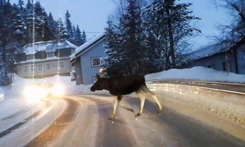 OBS: Elgen kan komme brått på, så bilister bes være oppmerksomme og kjøre forsiktig.