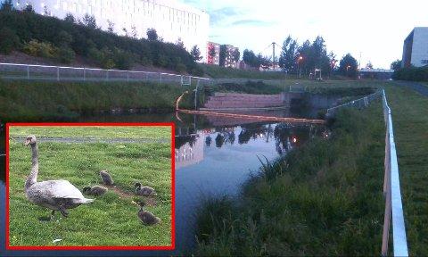 LEVER: Denne svanen lever fortsatt. En annen svane er skutt av viltnemda. FOTO: LARS RØNNING STENMARK / ØST BRANNVESEN