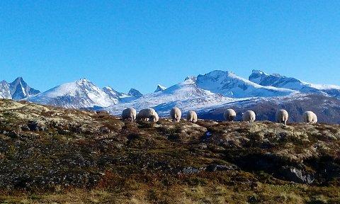 VILT OG VAKKERT: Sauene til John Rolf Bjørnevåg har utsikt til Hurrungane. I dette området ferdast også jerven.