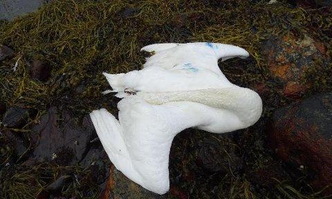 DØD SVANE: Denne svanen ble funnet i strandsteinene på Tau. Malinga på fjærdrakten er bunnstoff fra en båt. Foto: Magne K. Tjøstheim