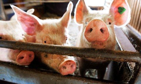 FANT BAKTERIER: Myndighetene har funnet multiresistente bakterier i en grisebesetning i Vestfold.