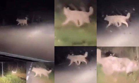 Her er hunden på vandring i Kalnesskogen i Sarpsborg. Mange trodde det var Seut-ulven som var på vandring.