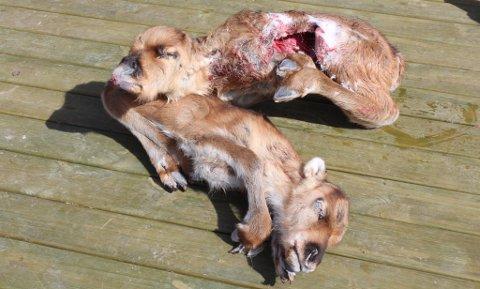 TATT AV ØRN: Denne reinkalven ble tatt av ørn for tre år siden. Artikkelforfatteren sår tvil om antall rein som blir tatt av rovdyr årlig.